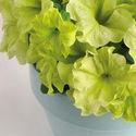 Petunia Sophistica & Debonair