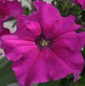 Petunia Color Express